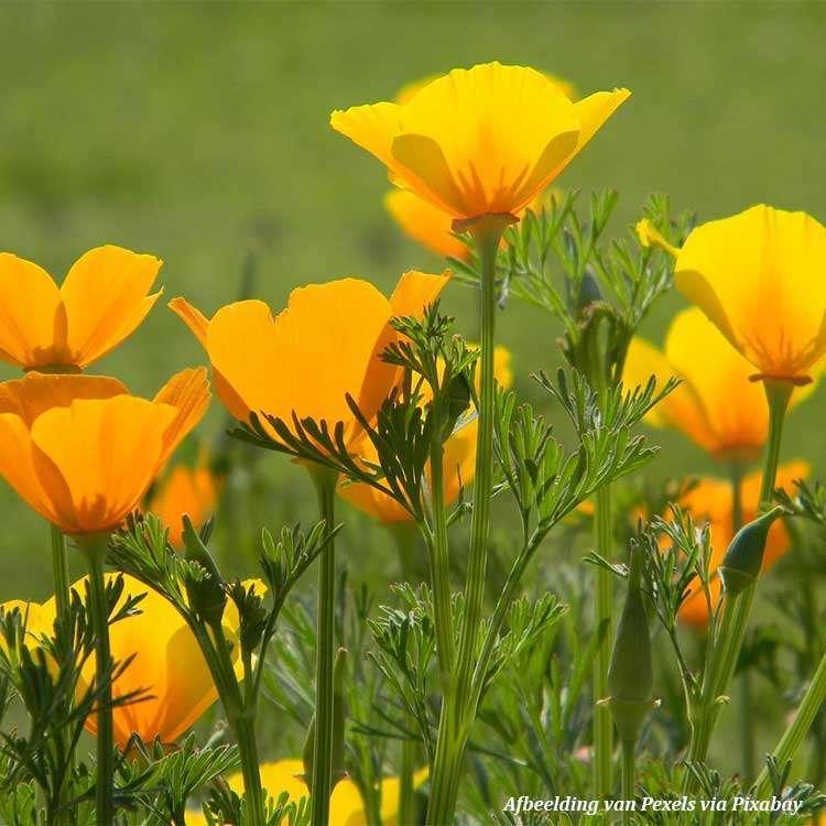 Slaapmutsje-Pavot-de-Californie