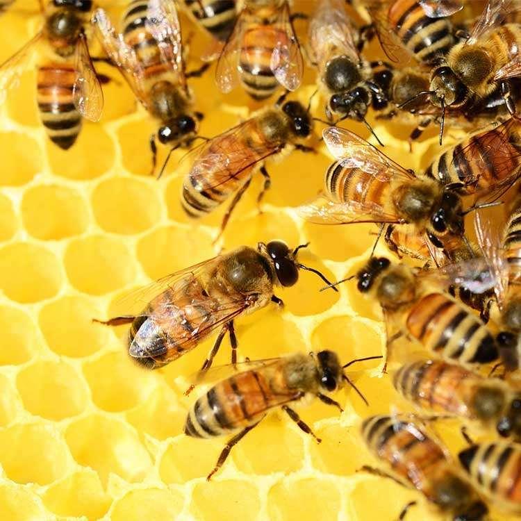 bijenpollen afbeelding